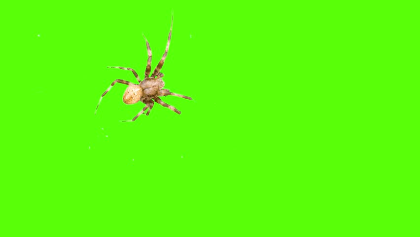 A beautiful spider crawls across the screen on a green background. One click selection and overlay in the video editor