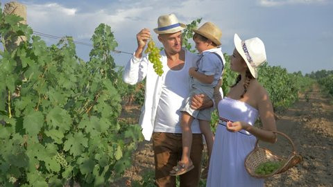 vintner picking organic grapes, happy family in straw hats with basket for fresh fruits walk among rows during the vine harvest