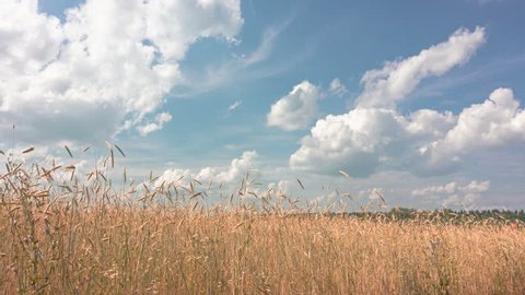ears of wheat and cloudy sky