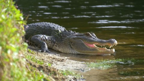 Alligator on the shore of the lake lies near the river with an open mouth in a natural habitat. Close up. American alligator is getting out from the water. Slow motion