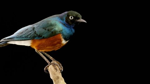 Rotating taxidermied superb starling (Lamprotornis superbus, formerly Spreo superbus) against a black background close up. Can be played in a loop with 30 frames overlap.