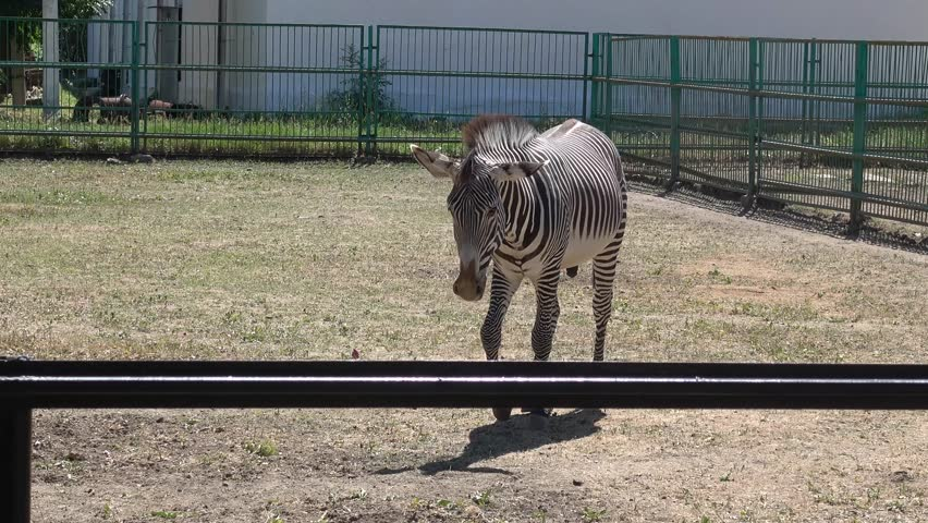 Kherson region, Ukraine - 3d of June 2018: 4K Tour to the Askania-Nova reserve - Watching zebra walking in the enclosure