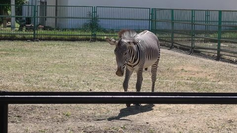 Kherson region, Ukraine - 3d of June 2018: 4K Tour to the Askania-Nova reserve - Watching zebra walking in the enclosure