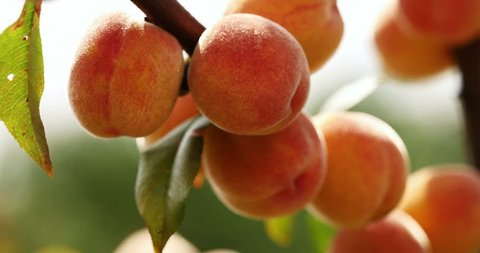 Perfect, juicy peaches on the branch of the fruit tree in a clean orchard