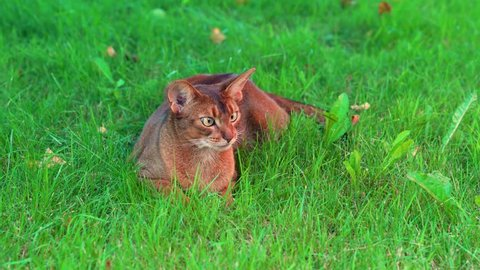 Cat lies on the lawn. Ants are running around it. Then apple falls nearby