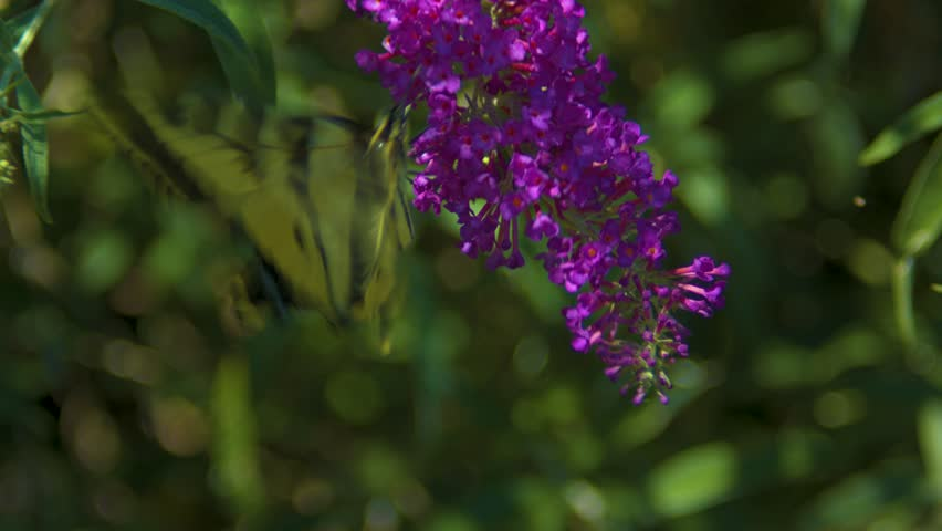 Macro footage of a two-tailed swallow butterfly on a butterfly bush. Shot on a Blackmagic Ursa Mini Pro 4.6k with a Canon FD 70-210mm f/4.