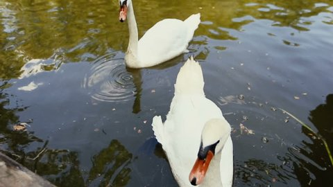 Close-up of human hand feeding two white swans with green grass. White swans floating and eating from hands.