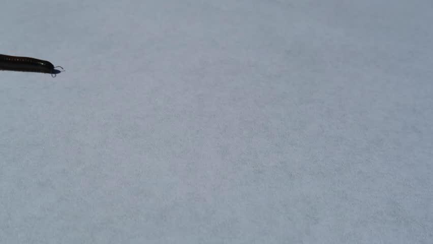 millipede crawling on white background