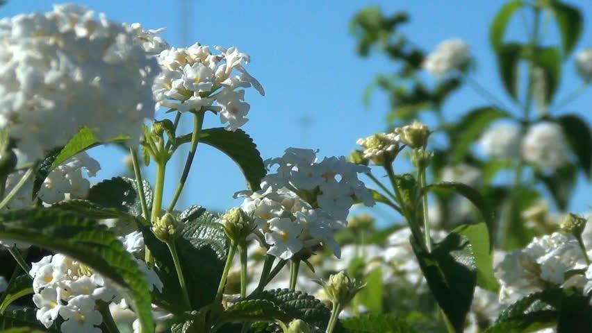 Selective focus on white Lantana Camara flowers garden in the spring.