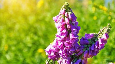 Purple Digitalis Purpurea, Lady's glove flowers