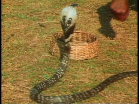 1000+ Snake Charmer Basket Stock Video Clips and Footage