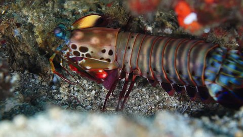 Large mantis shrimp stationary on the seabed at Anilao in the Philippines.