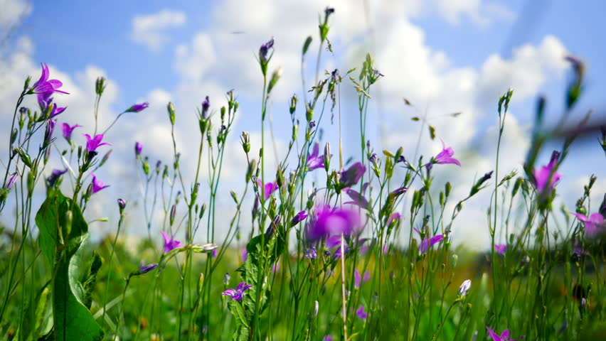 Delightful meadow with Campanula flowers. Smooth panning shot