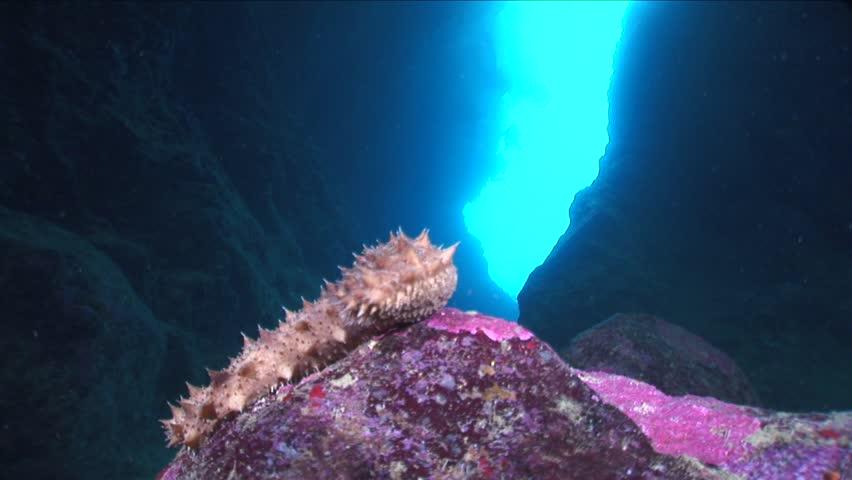 sea cucumber underwater in a cave