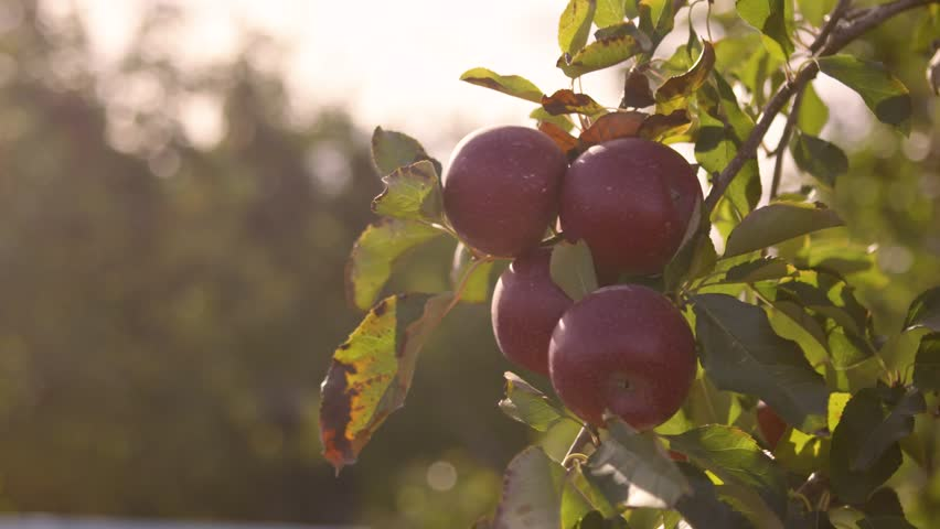 Organic Apples Growing In The Summer Sun #1014560615