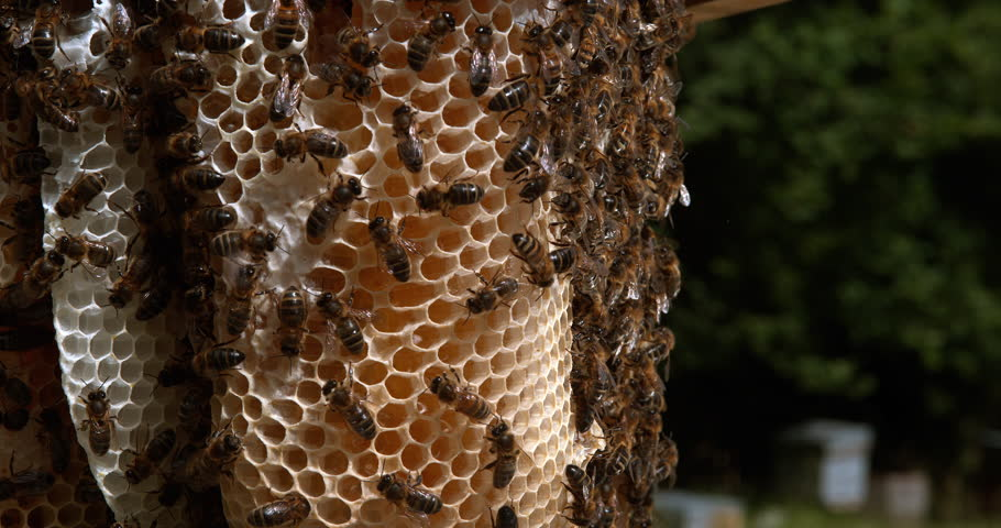 European Honey bee, Apis mellifera, Bees working on a Wild Ray, Alveolus filled with Honey, Normandy, Reel time 4K