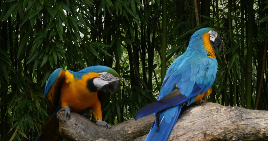 Blue-and-yellow Macaw, ara ararauna, Pair, Reel Time 4K
