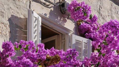 Pink bougainvillea flowers and shuttered window in Korcula Town, Korcula Island, Dalmatia, Croatia, Europe