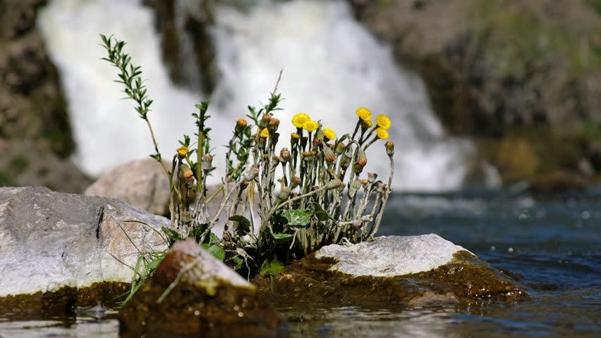 Tussilago farfara or coltsfoot flowers on stones on waterfall background. Rriver Vydriha near village Belovo in Novosibirsk region, Siberia, Russia