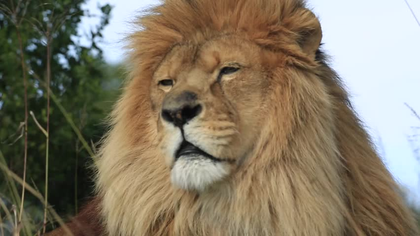African lion (Panthera leo) portrait in wind (some camera bounce), Africa #1014750515