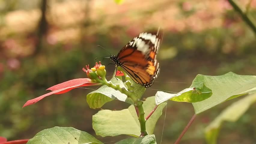 wild Poinsettia (Euphorbia pulcherrima ) with isolated Background and orange color Monarch Butterfly taking food in Forest.