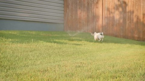 slow motion cute jack russell chihuahua puppy dog plays in sprinklers and runs towards camera for summer fun. Cute slow motion floppy ears.