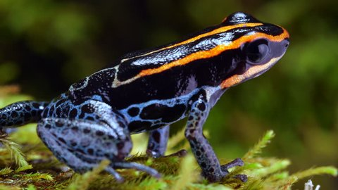 Reticulated Poison Frog (Ranitomeya ventrimaculata) on the rainforest floor in Ecuador.