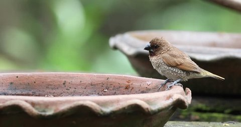 Scaly-breasted Munia bathing in brown clay tray with green forest as background.
