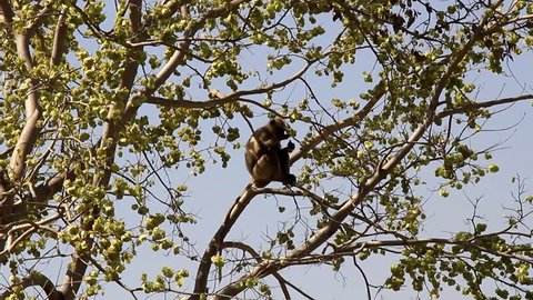 Langur feeds on the tree, sits confidently. India