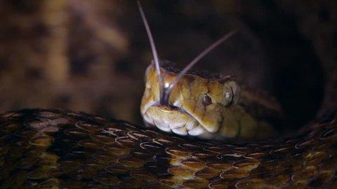 Slow motion of a venomous Fer de Lance (Bothrops atrox) viper protruding its tongue in the Ecuadorian Amazon