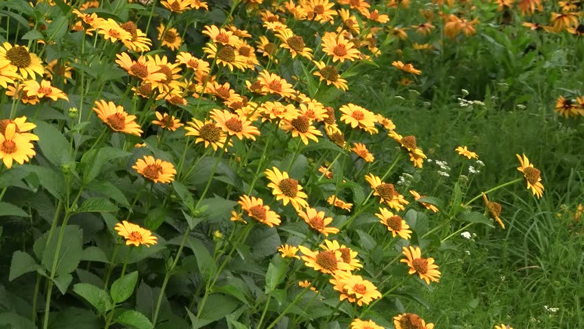 Summer view with rudbeckia flowers.