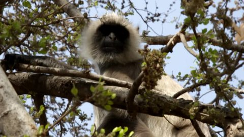 Langur monkey feeds on the fruit of a tree in the branches. India