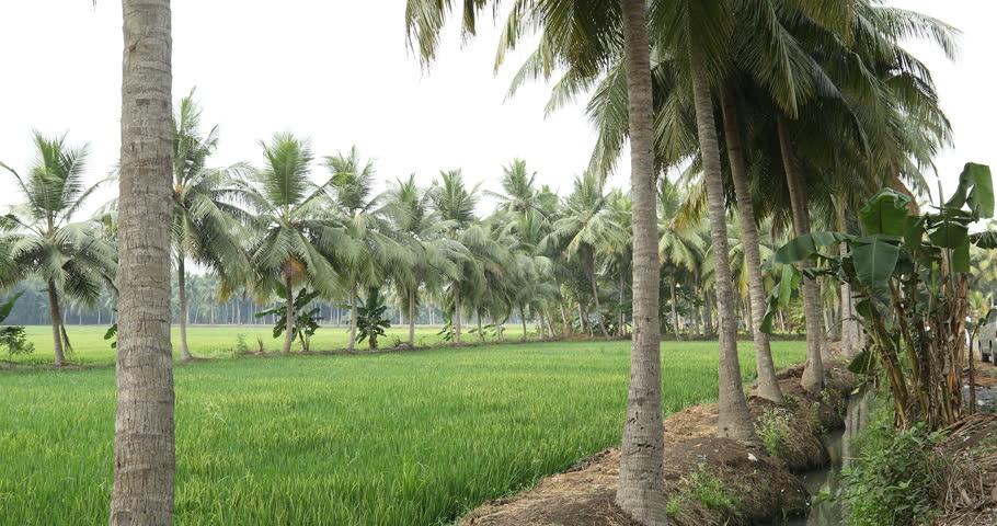Coconut Trees Kerala stock-videoer (100 % royaltyfri ...