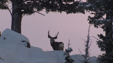 Mule Deer Buck Male Adult Lone Standing in Winter Trophy Antlers in Wyoming