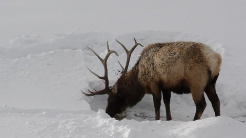 Elk Bull Male Adult Lone Digging Scratching Pawing in Winter Dried Grass Vegetation in Wyoming