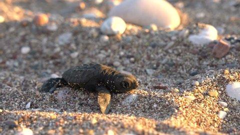 One newborn caretta caretta turtle hatchlings scuttle down the beach to the sea. 4k full frame. Selective focus