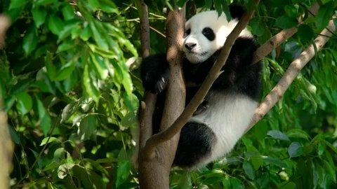 Giant panda bear cub on a tree. Chengdu, Sichuan, China