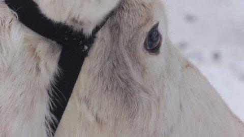 Cute Reindeer On Farm In Snowy Environment. Reindeer In North Of Sweden.