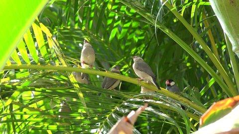 Java Sparrow Alien Exotic  in Hawaii