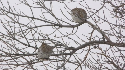 Sharp-tailed Grouse Several Foraging in Winter Tree Branches in South Dakota