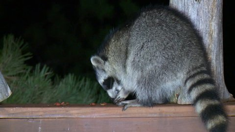Raccoon Lone Eating in Fall Deck Back Yard in South Dakota