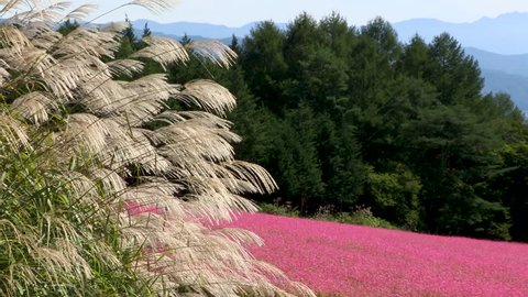 Japanese Pampas grass and A red Buckwheat flower. A field of Red buckwheat flowers that blooms on the whole hill in Ina city, Nagano Prefecture, Japan