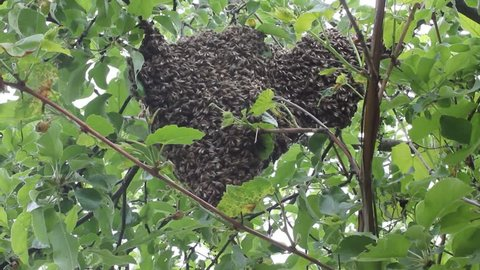 Swarming bees. Formation of a new colony (family) bees. Bees that can fly at some point fly out of the hive. They're going on a branch of a tree.