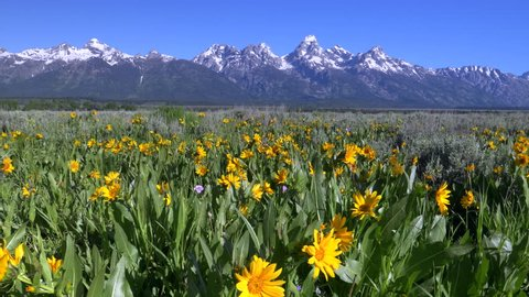 a slider shot of yellow balsam root flowers and grand teton mountain in grand teton national park, usa