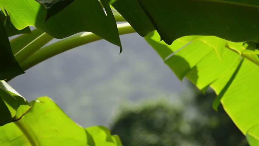 Fresh summer leafs of banana plant with sunlight from background,hd slow motion. Green banana leafs at sunset.