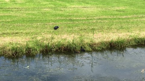 Coot with her babies in Friesland The Netherlands