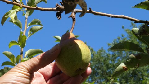 Farmer picking pear from the tree. Filmed in 4K