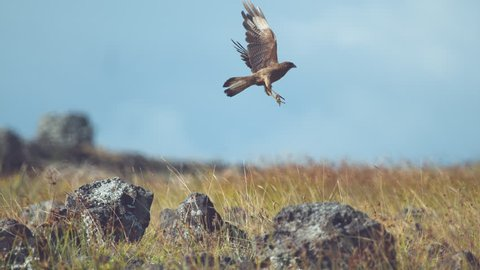 SUPER SLOW MOTION, CLOSE UP, DOF: Amazing Chimango Caracara bird sitting on a rock and takes off. Big buzzard bird flies up into the sky in sunny Easter Island, Chile. Bird of prey flying over meadow