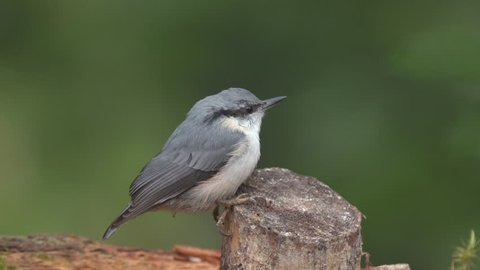 eurasian nuthatch bird animal perched on tree stump watching turn head side view