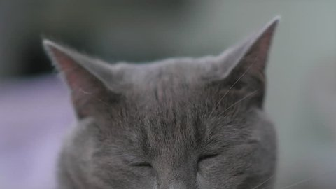 Blue Domestic Shorthair cat with sleepy eyes and ears twitching. Focusing from eyes to ears.